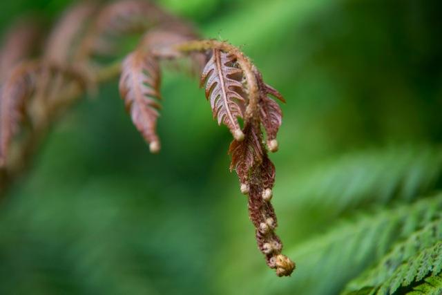 woodwardia