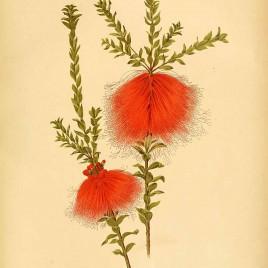 Beaufortia sparsa