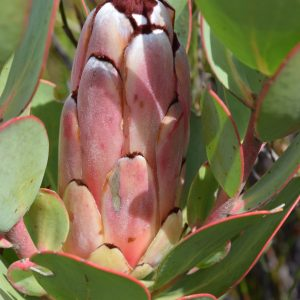 Protea stokoei in the wild on Moordenaarskop by Ben Ram