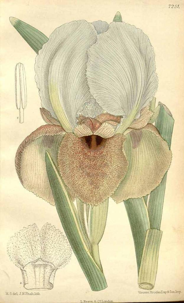 Iris lorteti from Curtis's Botanical Magazine, vol. 118 [ser. 3, vol. 48]: t. 7251 (1892) [M. Smith]