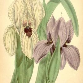 Iris korolkowii
