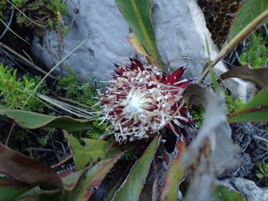 Protea scolopendriifolia wasn't conserved ex-situ until today. Whilst not yet threatened the problem of climate change looms large on its horizon. We now have plants and seed of all four snow proteas in ex-situ conservation.