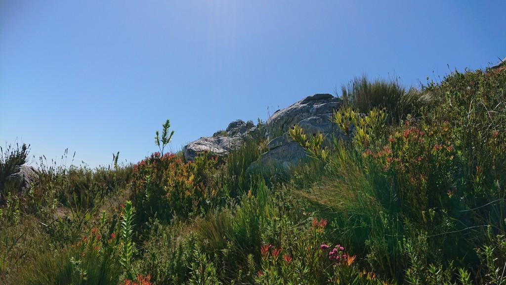 Klattia partita, a woody member of the Iridaceae, on the summit of Ten O'Clock Peak